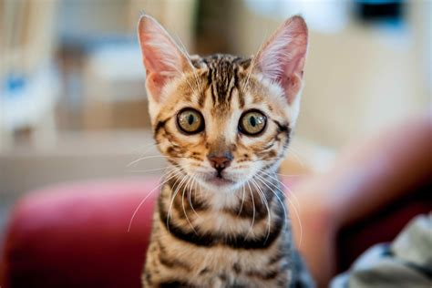separation anxiety symptoms separation anxiety in cats symptoms causes diagnosis treatment recovery