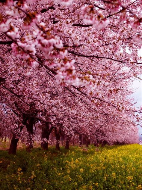 21 Of The Most Beautiful Japanese Cherry Blossom Photos Of Japanese Cherry Blossom Flower