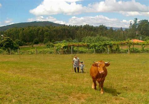 siete casas vacas 8483931850 casa da po 199 a actividades agr 237 colas barcelos a vaca minhota