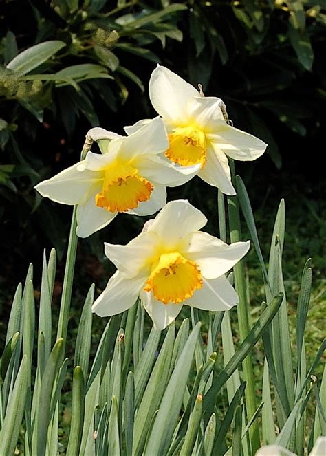 top 28 daffodil bulbs poisonous poisonous garden