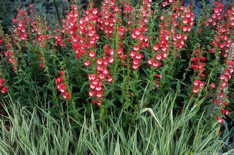 penstemons summer dry celebrate plants in summer dry