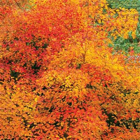 smokebush 10 best trees and shrubs for fall color this old house