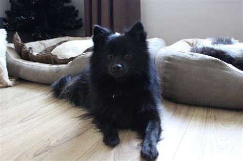 spitz puppies for sale german spitz puppies for sale wallpaper