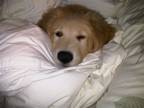 golden retriever puppies ontario for sale golden retriever puppies for sale ontario photo