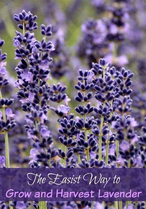 17 best ideas about lavender on pinterest growing