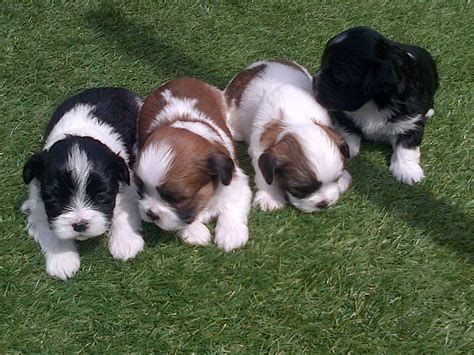 teacup yorkie puppies for sale in ky teacup puppies for sale in paducah kentucky breeds picture