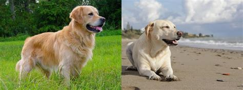 golden lab vs golden retriever golden retriever vs labrador diferencias entre golden retriever y labrador retriever