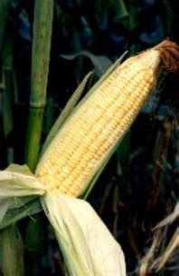 Tanam Jagung Pakan Ternak budidaya budidaya tanaman jagung