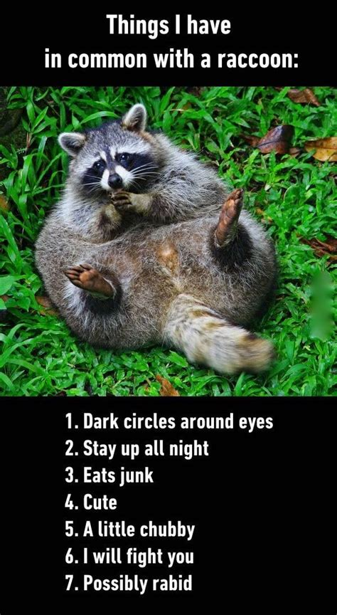 Raccoon Memes - things i have in common with a raccoon funny animal