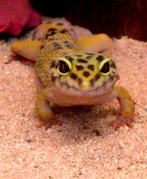 leoparden deko leopard gecko city pets and ponds