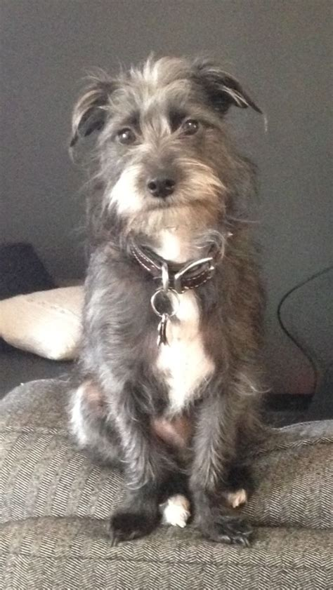 wire haired yorkie 17 best images about wire haired terrier mixed on terrier dogs adoption