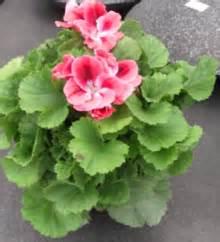 pelargonium tuin pelargonium x domesticum mijntuin org