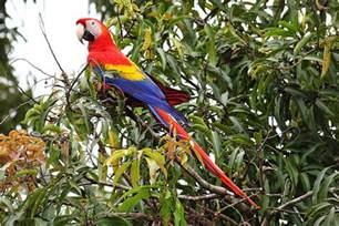 scarlet macaw wikipedia