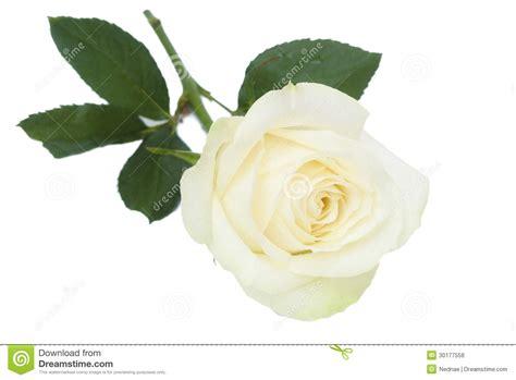 Tiff Bloom Bouquet By Velcris One singola rosa di bianco con le foglie fotografia stock