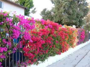 bougainvillea colors backyard planning phase i bougainvilleas apartment therapy