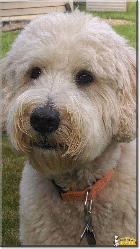 golden retriever standard poodle mix cali golden retriever standard poodle mix december 15 2016
