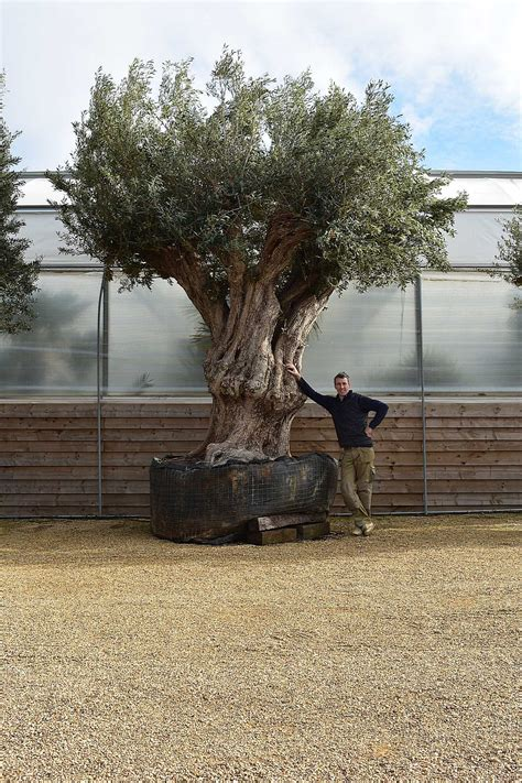 large ancient olive trees  exterior centre pieces