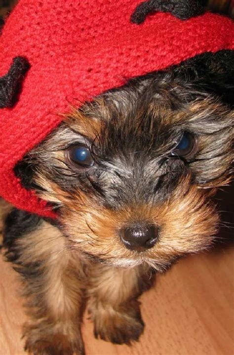 yorkie costumes 63 best images about yorkies on pets can i eat and puppys