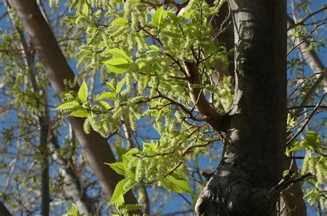 fruitless mulberry tree