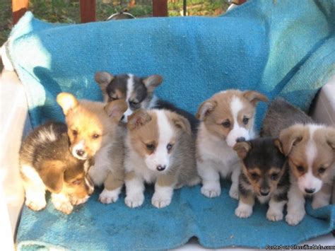corgi puppies price pembroke corgi puppies price 350 00 for sale in murray idaho best pets
