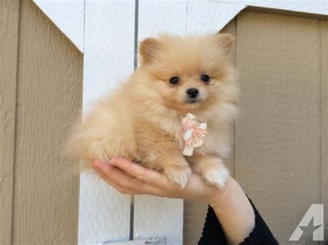 small white pomeranian puppies small like teacup white baige pomeranian puppy 9 weeks for sale in snohomish