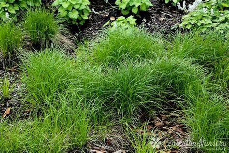 pennsylvania sedge grass