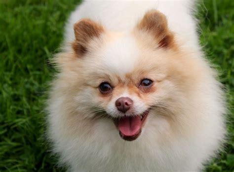 show me a picture of a pomeranian beaver merle parti pomeranian one poms buy me puppies