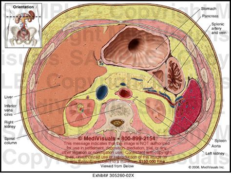 cross section of stomach abdominal cross section medical illustration medivisuals