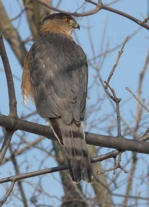 cooper s hawk identification all about birds cornell