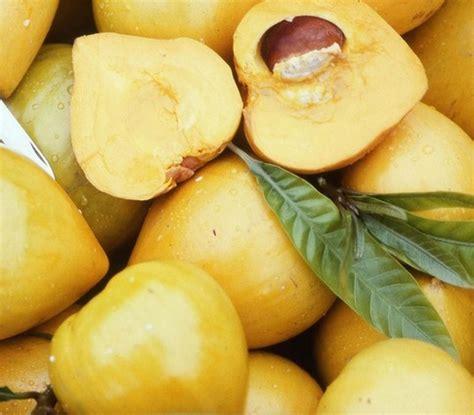 Bibit Tanaman Kenitu Genitu Ungu tanaman sawo mentega canistel bibitbunga