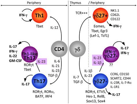 frontiers regulation of interferon gamma frontiers molecular mechanisms of differentiation of