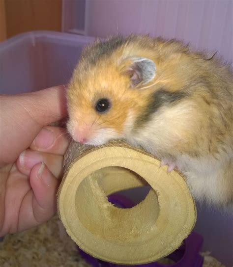 Really Cute Baby Hamsters Pictures to Pin on Pinterest