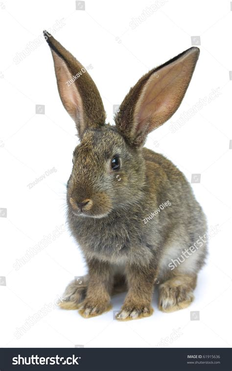 white rabbit new year happy new year rabbit isolated on stock photo 61915636