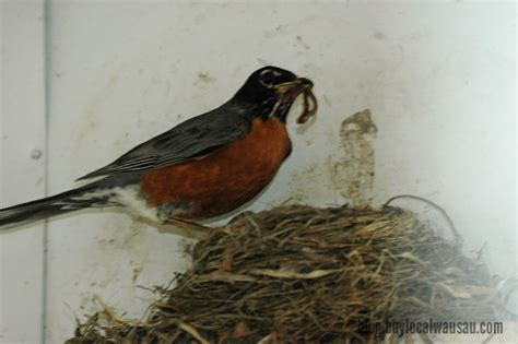 feeding time for the baby robins buy local wausau