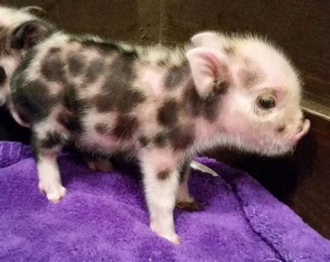 Pet Miniatur dedicated to healthy and high quality small indoor pet pigs mini pigs juliana pigs