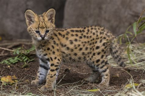 the african serval is awesome and could leap out the