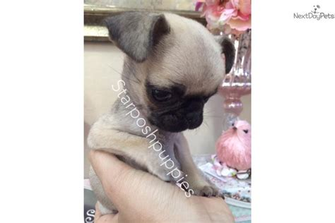 micro pugs for sale pug puppy for sale near arizona 09a9342a 3e01