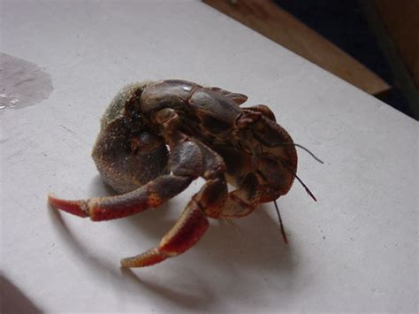 a hermit crab without a shell flickr photo sharing