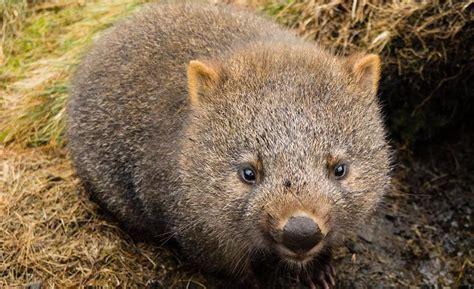 imagenes de animal wombat los animales mas raros del mundo animales extra 241 os