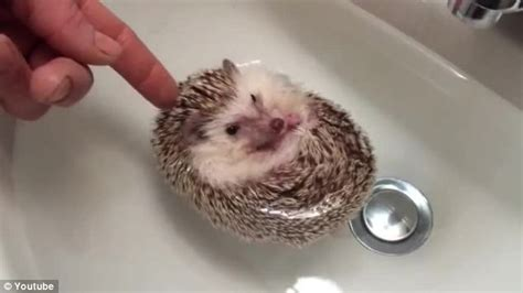 hedgehog bathtub image gallery hedgehog bath