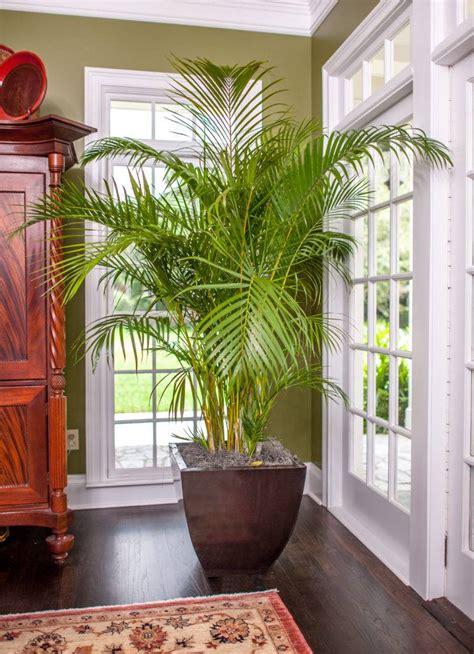 areca palm  sale  full sized high quality plant