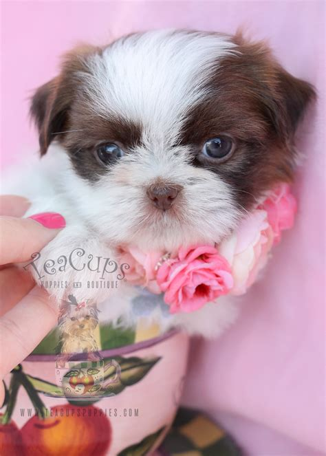 shih tzu puppies for sale in puppy for sale in south florida shih tzu puppies by