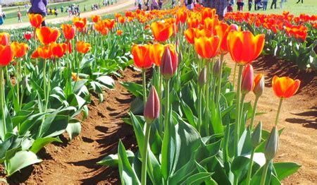 Mukena Bunga Tulip Green lale devri saat bunga tulip berjaya di turki