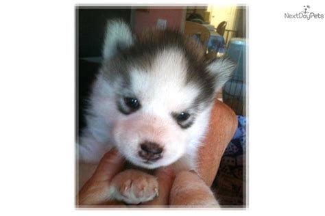 wolf pomeranian hybrid siberian husky puppy for sale near lancaster pennsylvania 6bc01f85 adanih