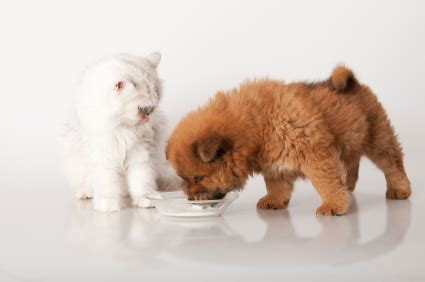 can you give a puppy milk is it ok to feed your cat or milk products vetwest animal hospitals