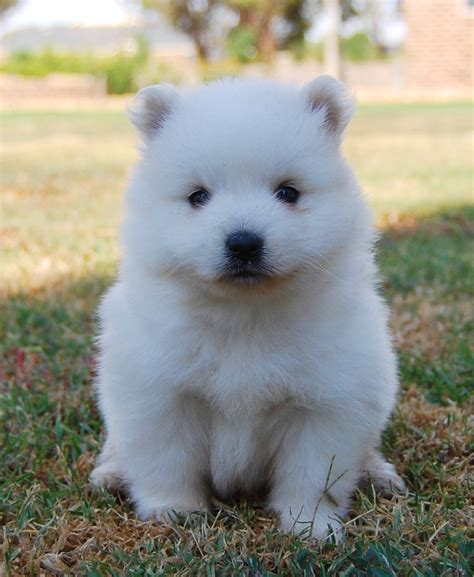 japanese spitz puppies lovely japanese spitz puppy photo and wallpaper beautiful lovely japanese spitz puppy