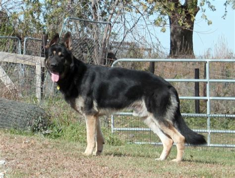 how much are german shepherd puppies how much is a german shepherd puppy breeds picture