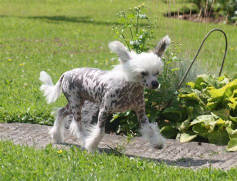 crested puppy for sale crested puppy for sale leeds west pets4homes