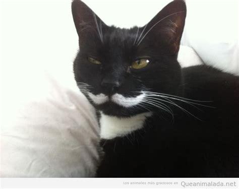 fotos en blanco y negro graciosas gato negro bigote blanco