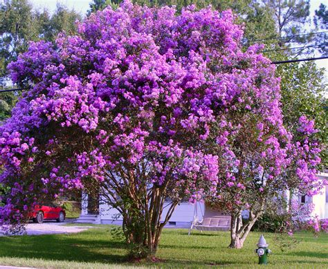 small purple tree crape myrtle trees louie s nursery riverside ca louie s